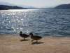 enten-am-woerthersee